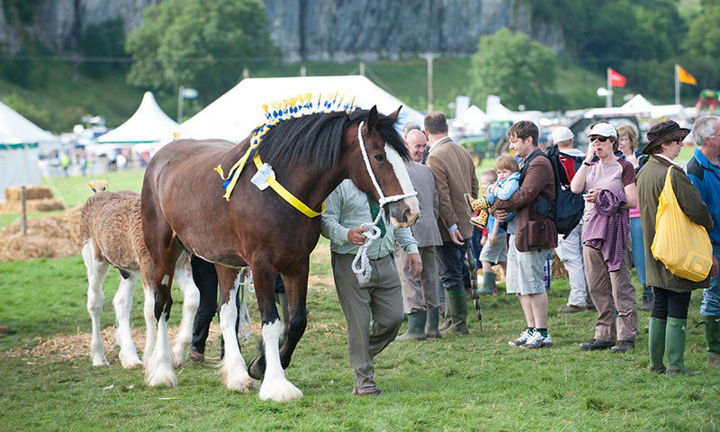 Shire horse at Kilnsey show