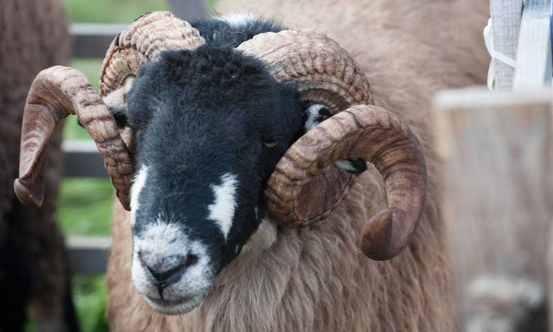 Swaledale sheep Yorkshire